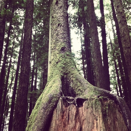 Redwoods 8.2013